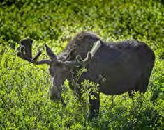 Moose